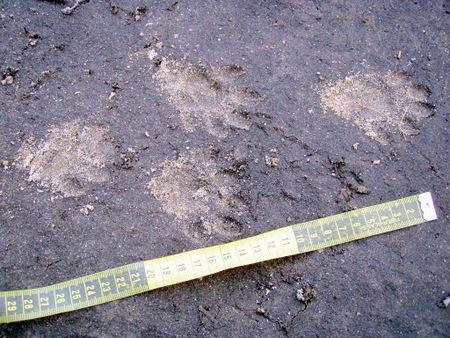 Otter transfer tracking 450x338